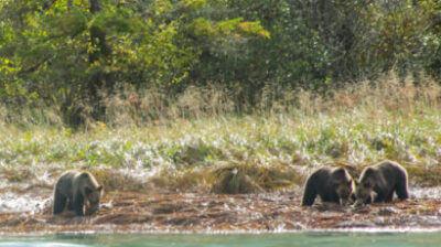 bears-crop-410x230